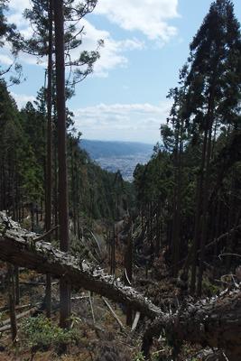平成30年の台風21号により倒された如意ケ嶽山中の植林地とその空隙から覗く、南方は山科・醍醐方面の市街や山並み