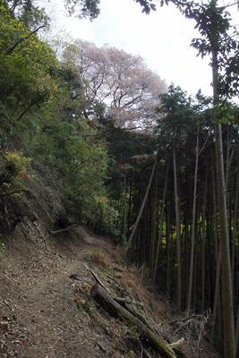 鹿ケ谷から山腹を巻きつつ東へ続く古道と樹上に花を咲かせる山桜