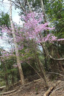 東山の稜線の東裏辺りの推定如意越古道の傍にあった山躑躅の花