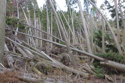 凄まじい倒木に見舞われる如意寺本堂跡平坦地