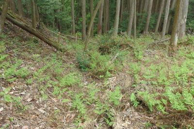 如意寺・宝厳院推定地南の浅谷で発見した、古道跡とみられる掘り込み