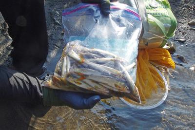 投網漁の漁獲。滋賀県西北部・石田川中流にて