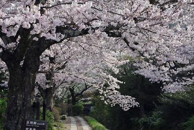京都「哲学の道」沿いに咲き誇る満開の桜