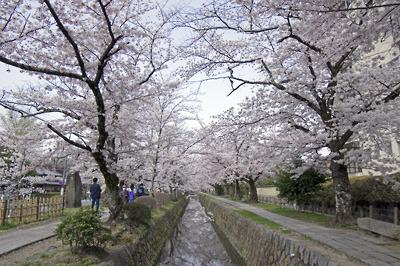 銀閣寺道傍を流れる琵琶湖疏水分線沿いの「哲学の道」の満開桜