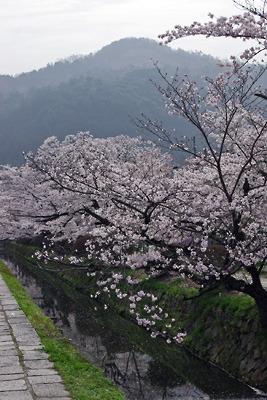 黄砂に煙る大文字山と疏水分線の満開桜