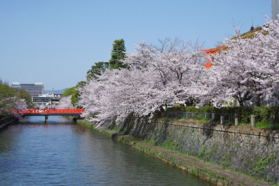 京都市街東部岡崎の疏水沿いの桜と朱塗りの慶流橋や大鳥居