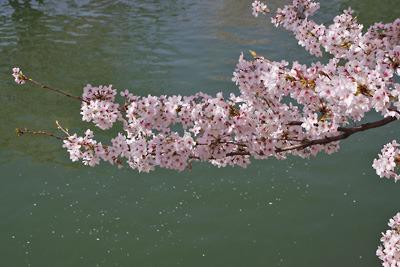 京都岡崎の疏水沿いの桜花の一枝と水面を流れる多くの花弁