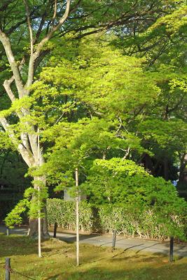京都真如堂の本堂裏の楓の新緑若葉(青もみじ)