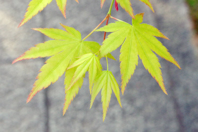 石畳上で春風に翻る、京都真如堂の楓若葉(青もみじ)