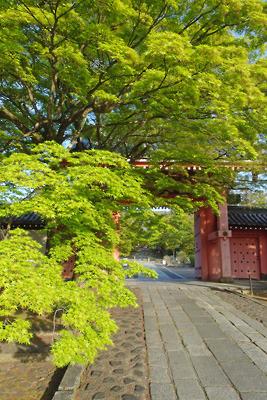 京都真如堂正門の赤門(総門)前の楓の新緑若葉(青もみじ)
