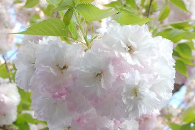 京都・神楽岡山上南の八重桜とその新緑若葉