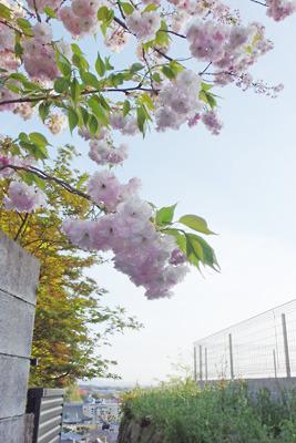 京都・神楽岡南山上の民家庭から覗く満開の八重桜と、その奥に続く京都市街