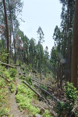 平成30年台風による倒木で明るくなった大文字山山中の谷地