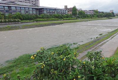 豪雨後の賀茂川(鴨川)の濁流と河岸の枇杷の実
