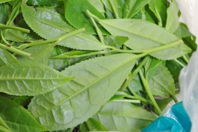 京都東山の奥で採取した野生の新茶葉にみる「一芯二葉」