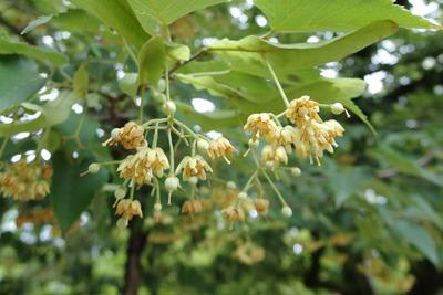 京都・真如堂本堂前の菩提樹の花や実
