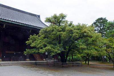大きな真如堂本堂前の砂利上に枝を広げる菩提樹