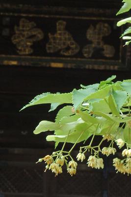 本堂に掲げられた「真如堂」の扁額を背景に、小さな花を鈴なりに咲かせる真如堂の菩提樹
