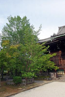真如堂本堂左前(北西)で花を咲かす沙羅双樹の木