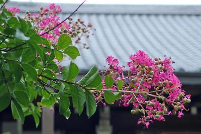 京都黒谷・金戒光明寺塔頭西雲院の百日紅の花